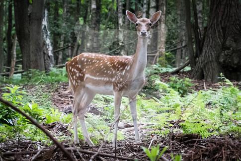 Single fallow doe in forest