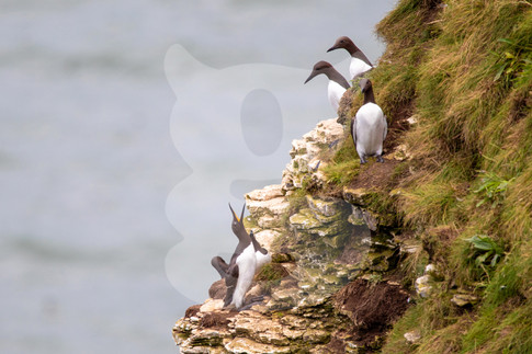 Guillemots on cliff