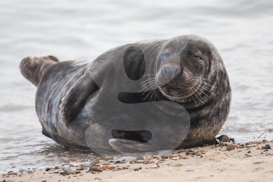 Laid back grey seal