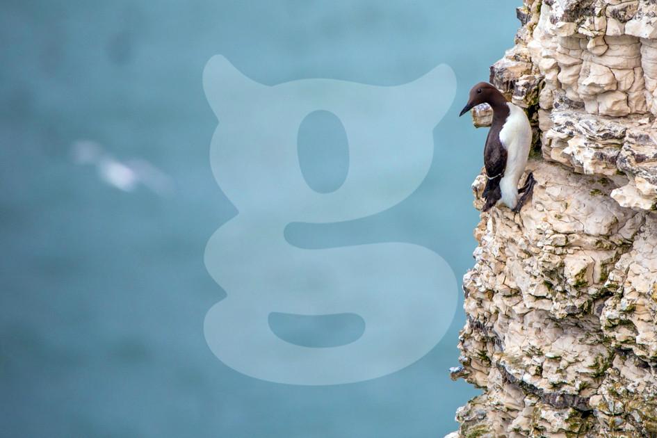 Guillemot on cliff face