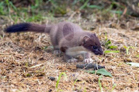 Investigating stoat