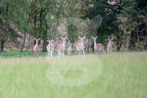 Fallow deer group