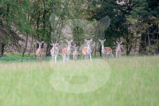 Fallow deer group