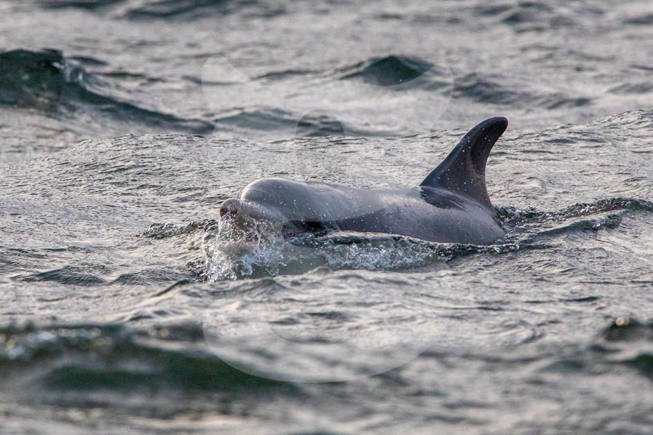 Dolphin breaking water