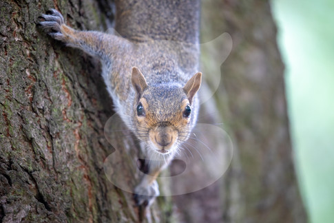 Curious squirrel coming down tree