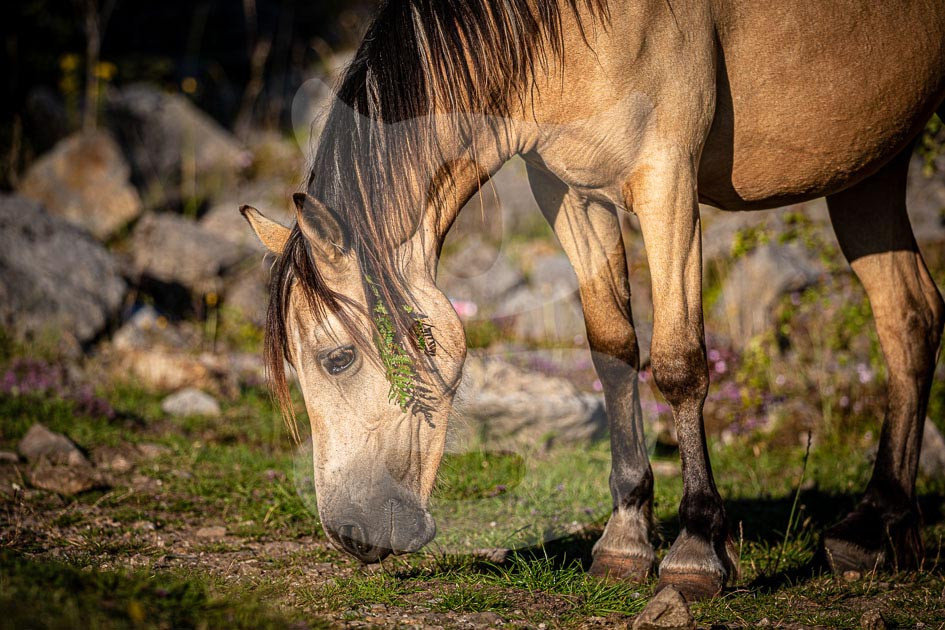 Welsh Mountain Pony with heather hair decoration