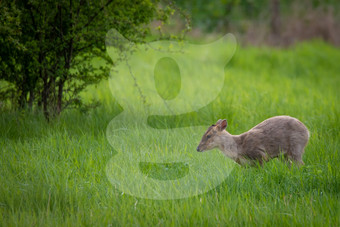 Muntjac in grass
