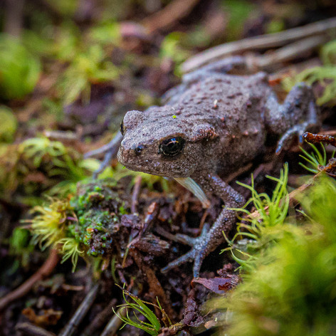 Common Toad >>