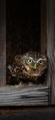 A very Little Owl