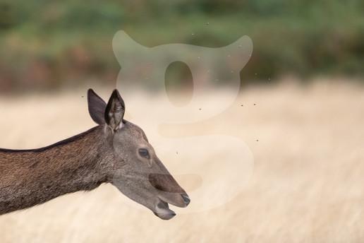 Red deer hind with flies