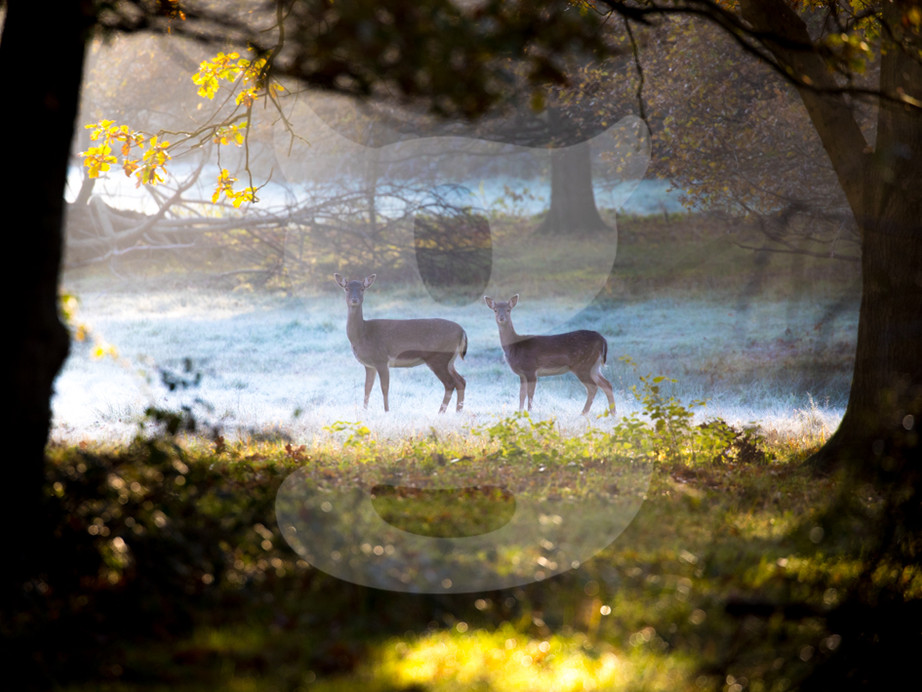 Pair of frosty morning deer
