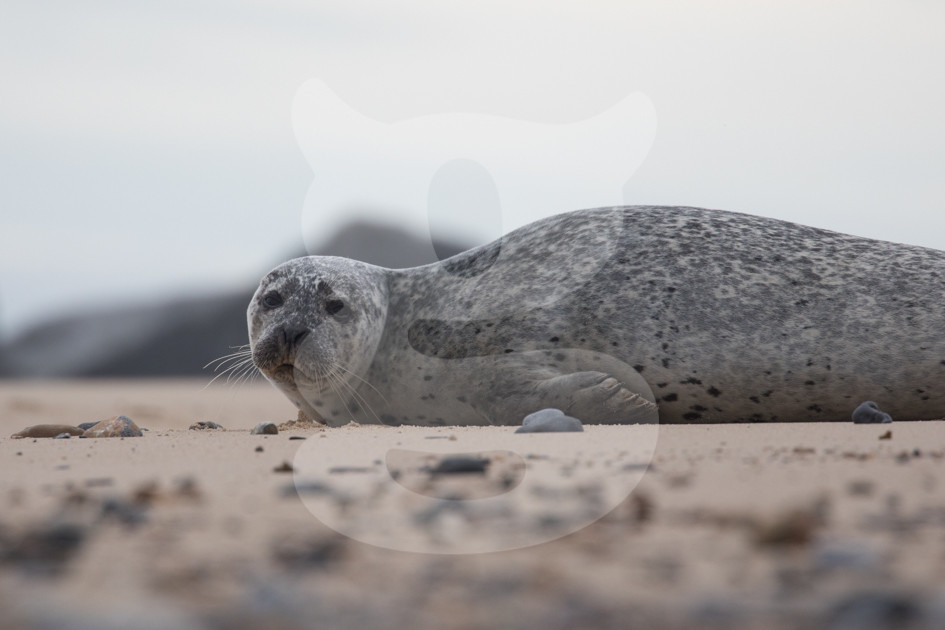 Relaxed grey seal