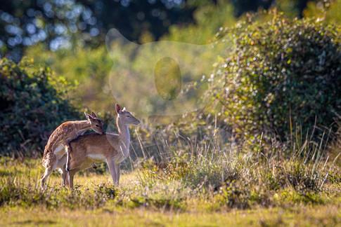 Frisky young fallow deer