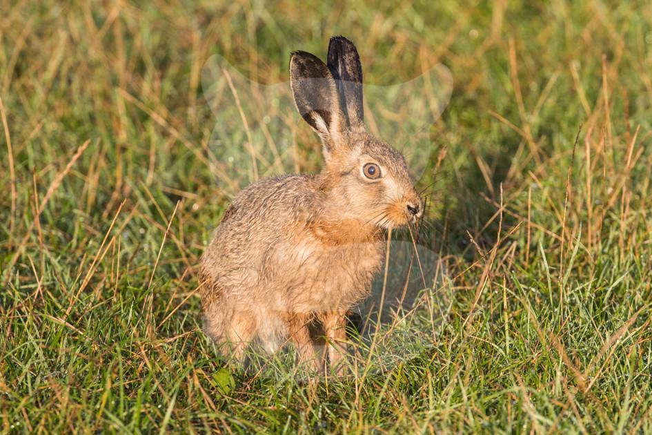 Hare in sunlight