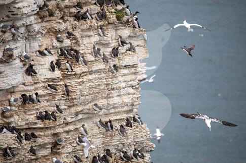 Guillemots on cliff face