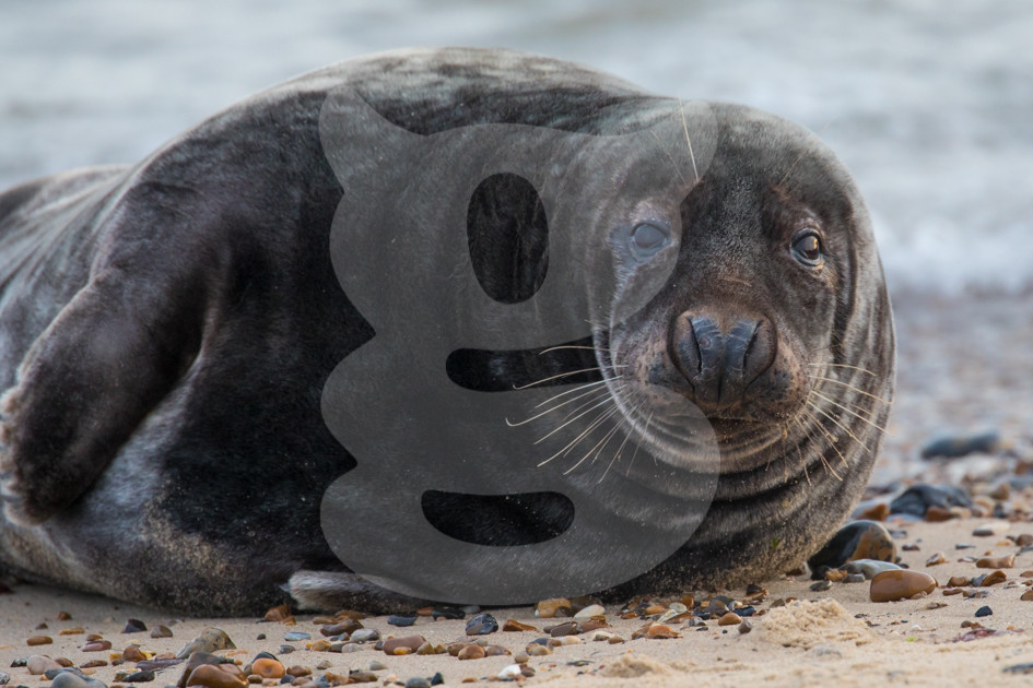 Laid back grey seal