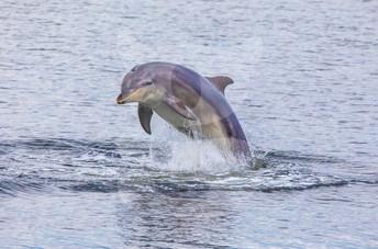 Dolphin breaching, Moray Firth