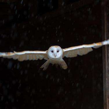 Barn Owl >>