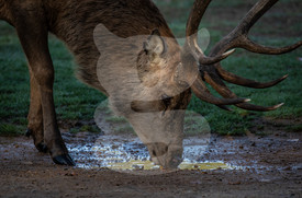 Thirsty red deer stag