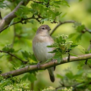 Garden Warbler >>