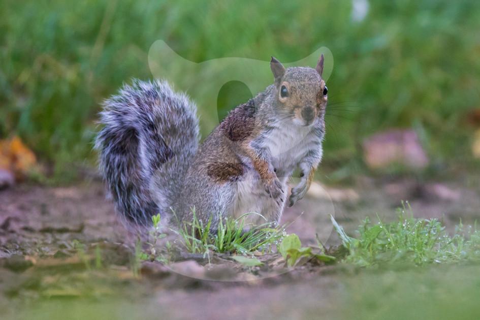 Curious grey squirrel