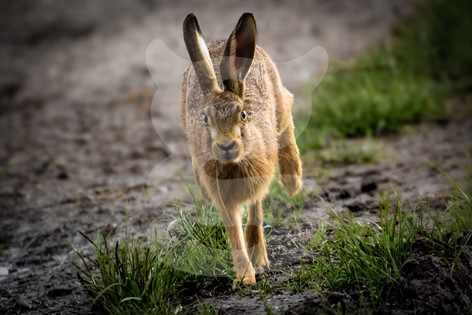 Brown hare running scared