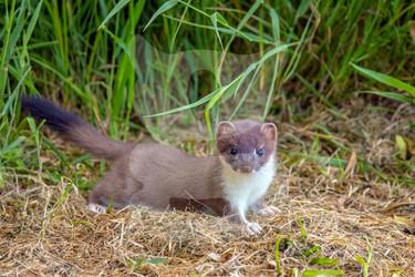 Low profile stoat