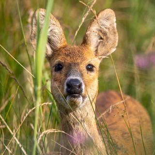 DEER - Chinese Water Deer >>