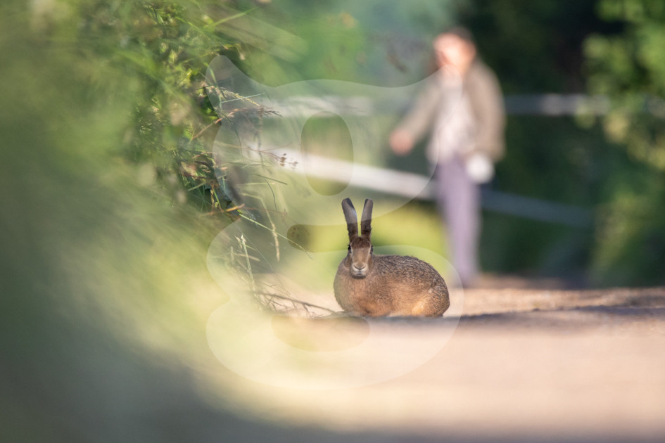 Brown hare with a walker behind