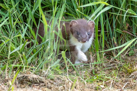 Stoat cautiously coming out fo the grass