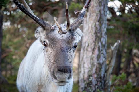Reindeer close up