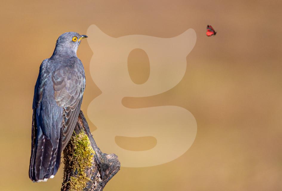 Cuckoo watching Cinnabar Moth