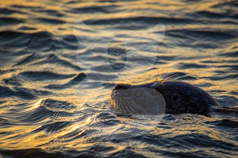 Grey seal at sunset