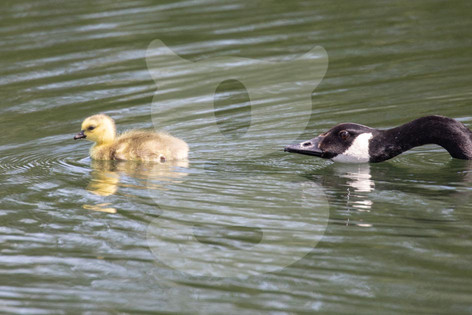Canada Goose with Chick