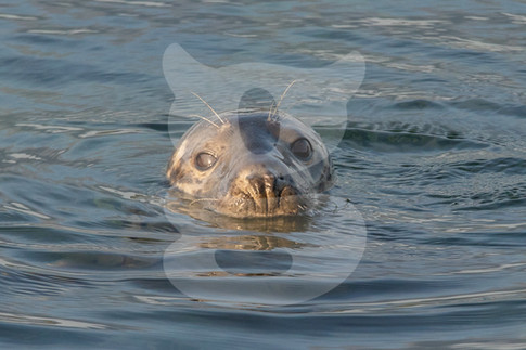 Grey seal peaking out the water