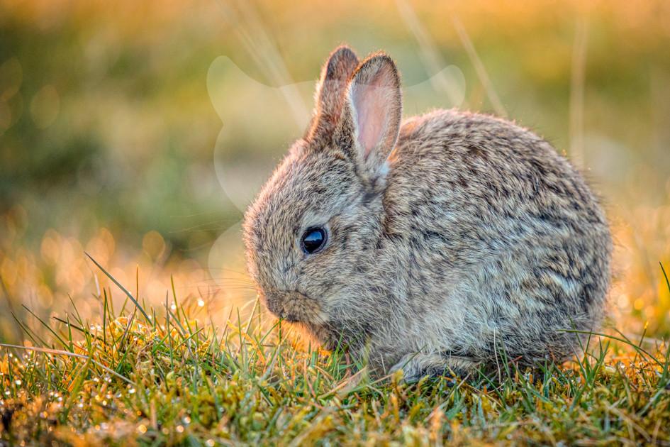 Rabbit kit at sunrise, Northern Pennines