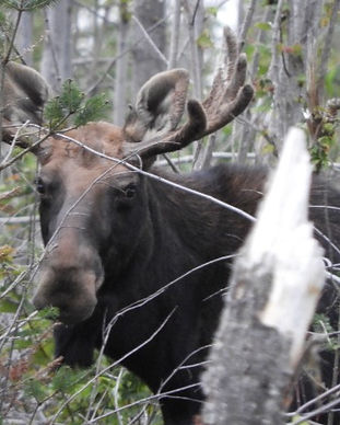 moose tours maine