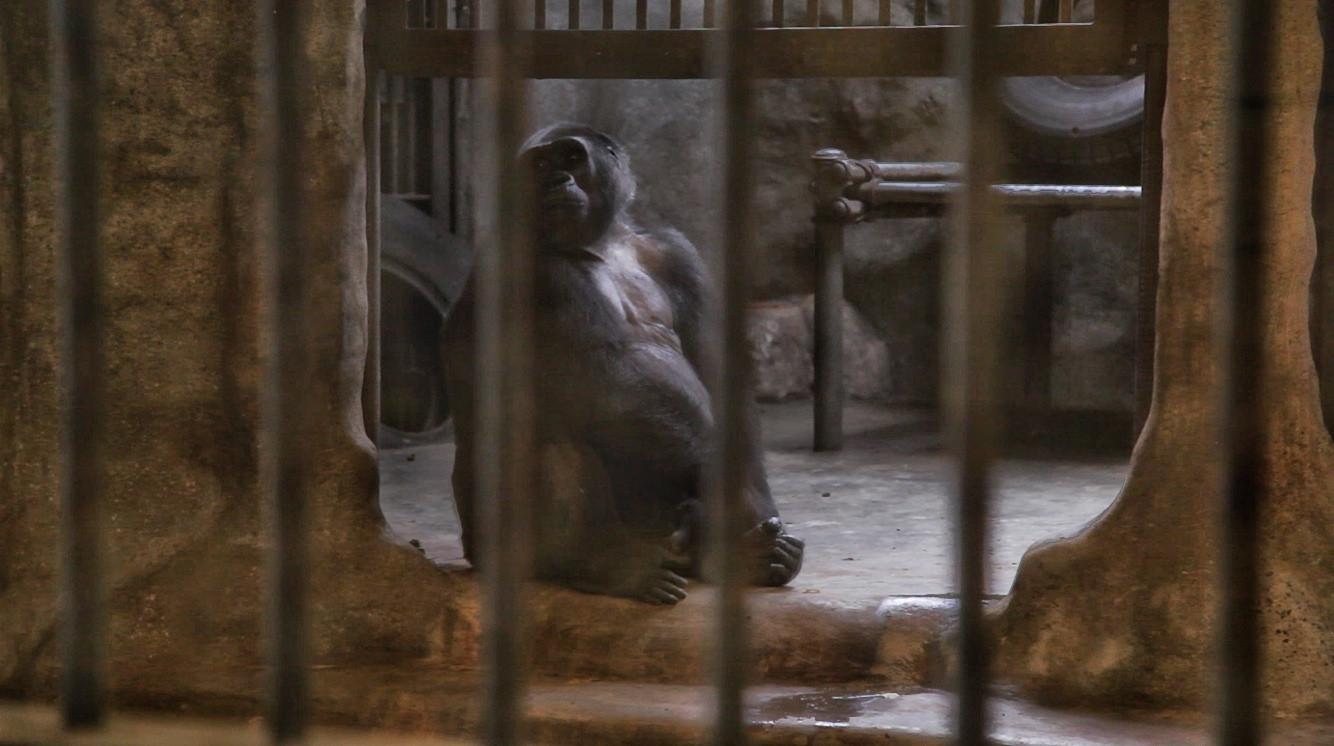 Gorilla im Pata Zoo