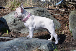 Betty Boo french bulldog canada