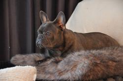 Violette French bulldog canada