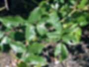Bug-Ridden-Rose-Bushes.jpg