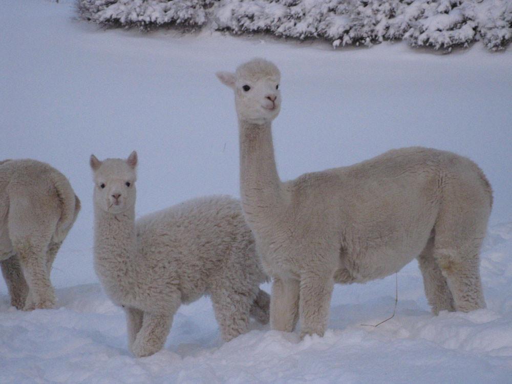 Alpakka nyter snø