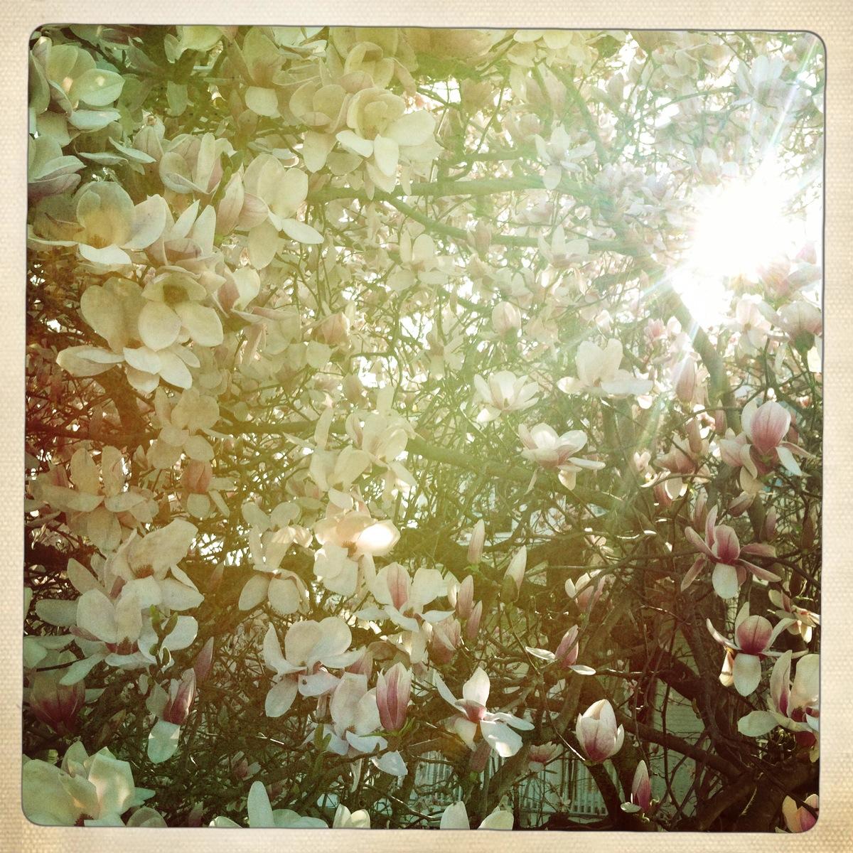 Magnolia Burst
