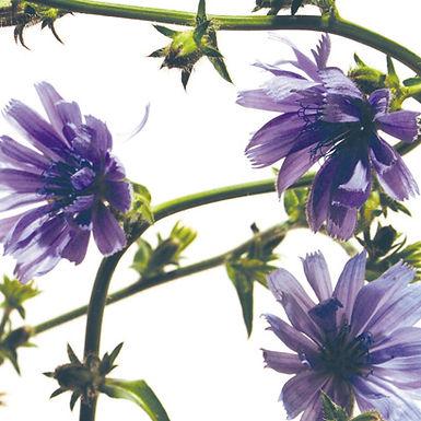 Cichorium intrybus