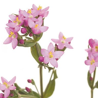 Centaurium ambellatum ou Erythraea centaurium