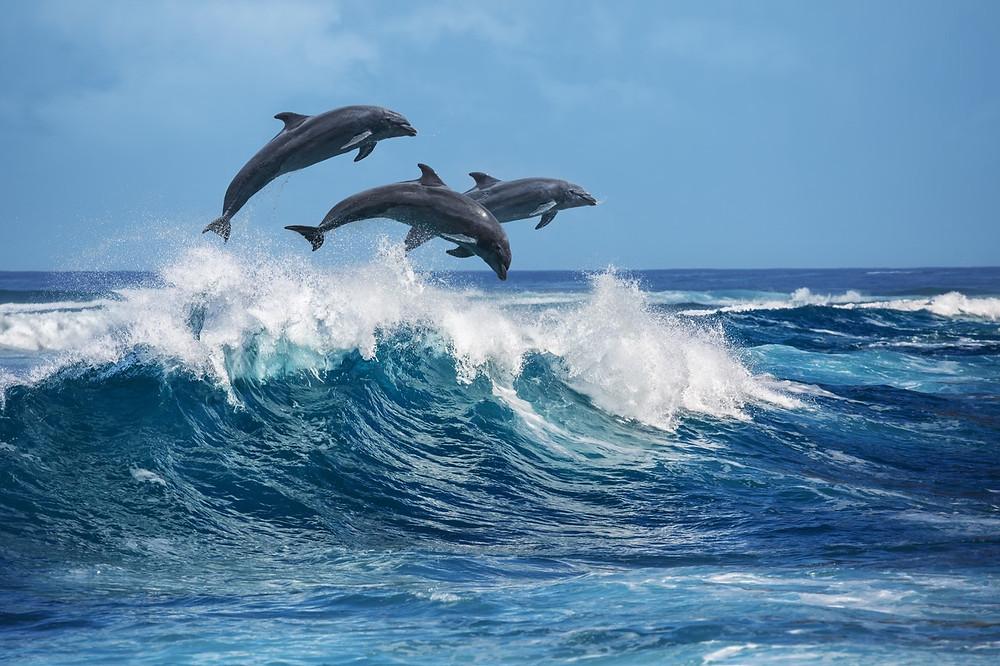 delfine-in-der-karibik-wer-springt-hoeher