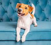 jack-russell-terrier-dog-lies-turquoise-