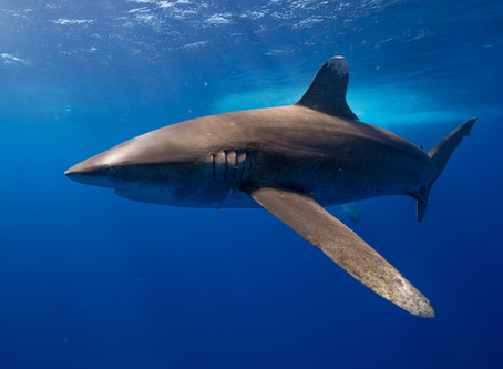 Love sharks during Shark Week? There are 51 other weeks they need your help.