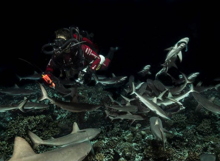 Diving in with 700 sharks