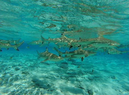 Where in the world are sharks feeding?
